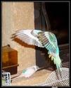 2- Le respect des besoins de nos perruches et perroquets Arcenc10