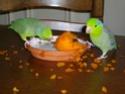 2- Le respect des besoins de nos perruches et perroquets Gamell10