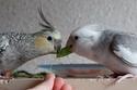 2- Le respect des besoins de nos perruches et perroquets Gramin10