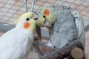 2- Le respect des besoins de nos perruches et perroquets Paprik10