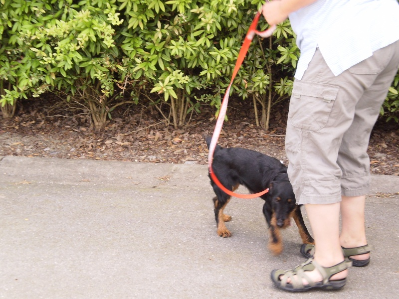Belgique - WATSON jagd terrier  1 an, avant mercredi !!! Verviers ... adopté en Allemagne par Barbara 01510