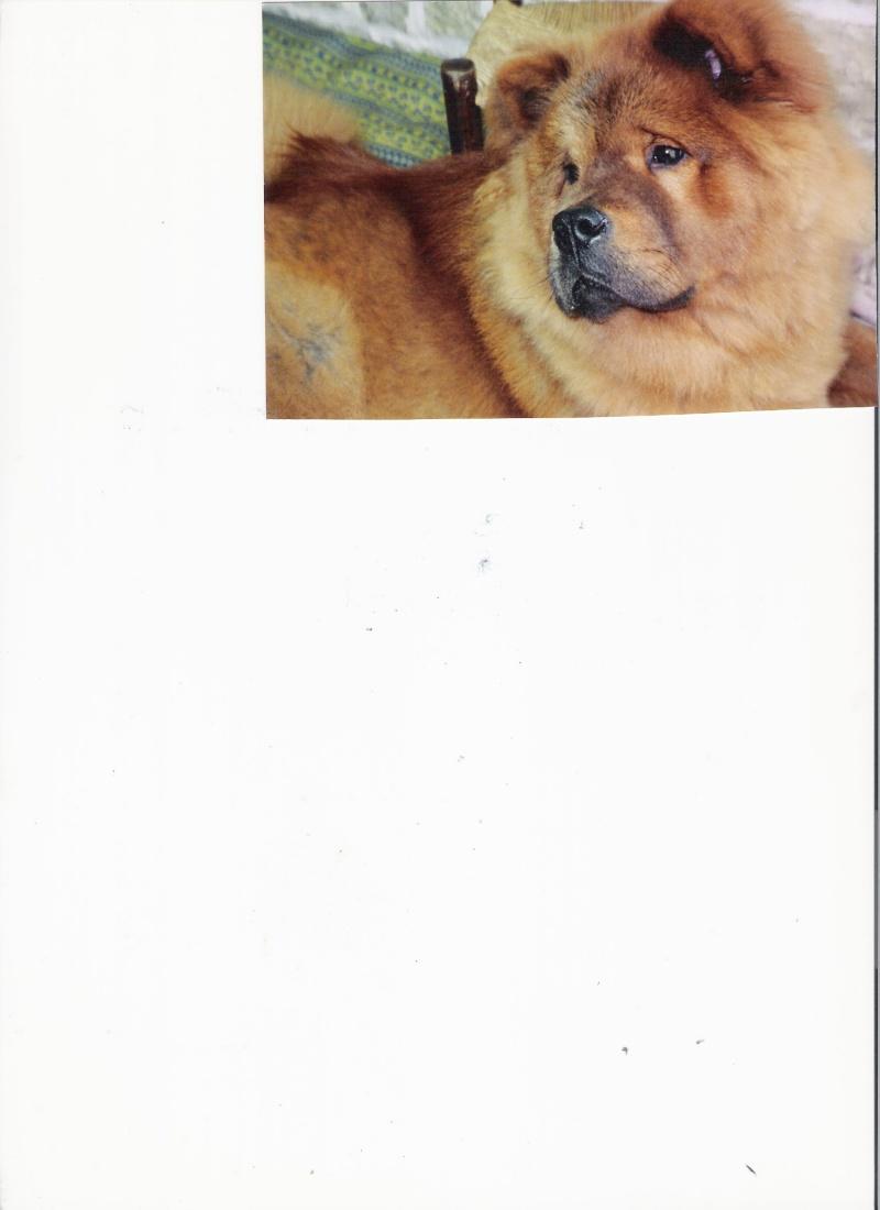 JADE Femelle Chow chow 250269800475333 Chowch10