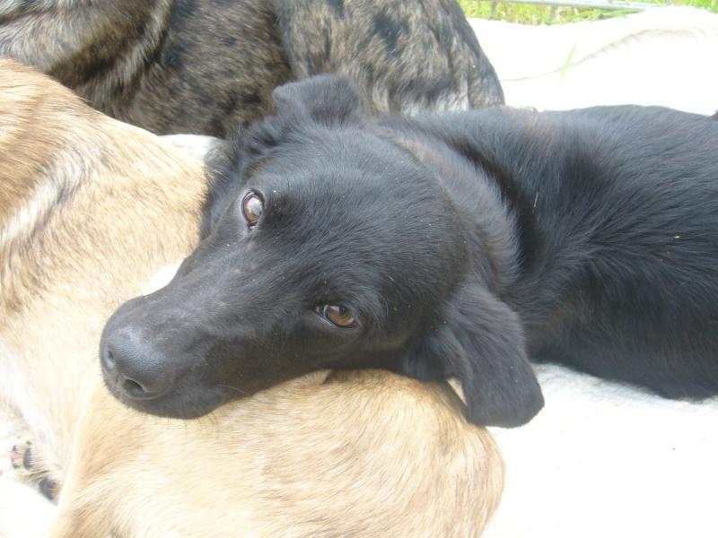 mâle croisé Labrador noir  P1160310