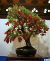 Bonsai Society of Western Australia 2012 Spring Show Dsc02710