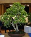 Bonsai Society of Western Australia 2012 Spring Show Dsc02713