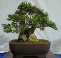 Bonsai Society of Western Australia 2012 Spring Show Dsc02714