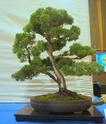Bonsai Society of Western Australia 2012 Spring Show Dsc02715