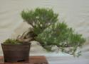 Bonsai Society of Western Australia 2012 Spring Show Dsc02722