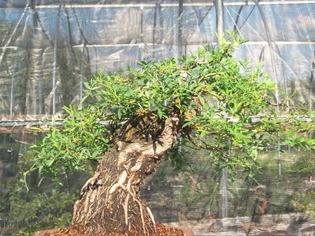 Bald Cypress Progression 100_2210