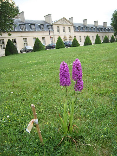 Les Orchidées sauvages de Paris Orchis10