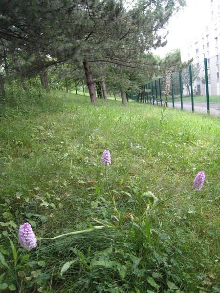 Les Orchidées sauvages de Paris Orchis11