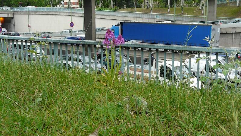 Les Orchidées sauvages de Paris Orchis12