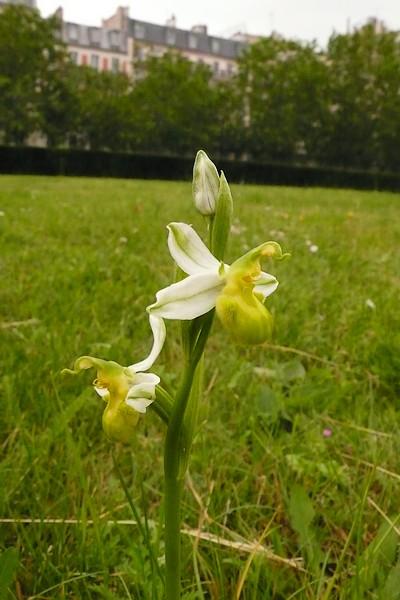 Les Orchidées sauvages de Paris - Page 2 P1000511