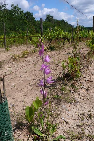 Dans les vignes et autres endroits inattendus P1090311