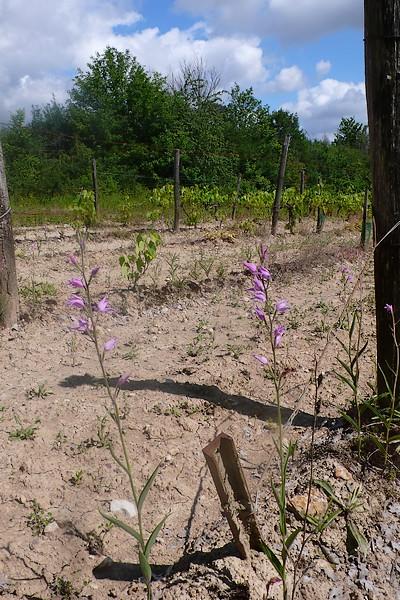 Dans les vignes et autres endroits inattendus P1090312