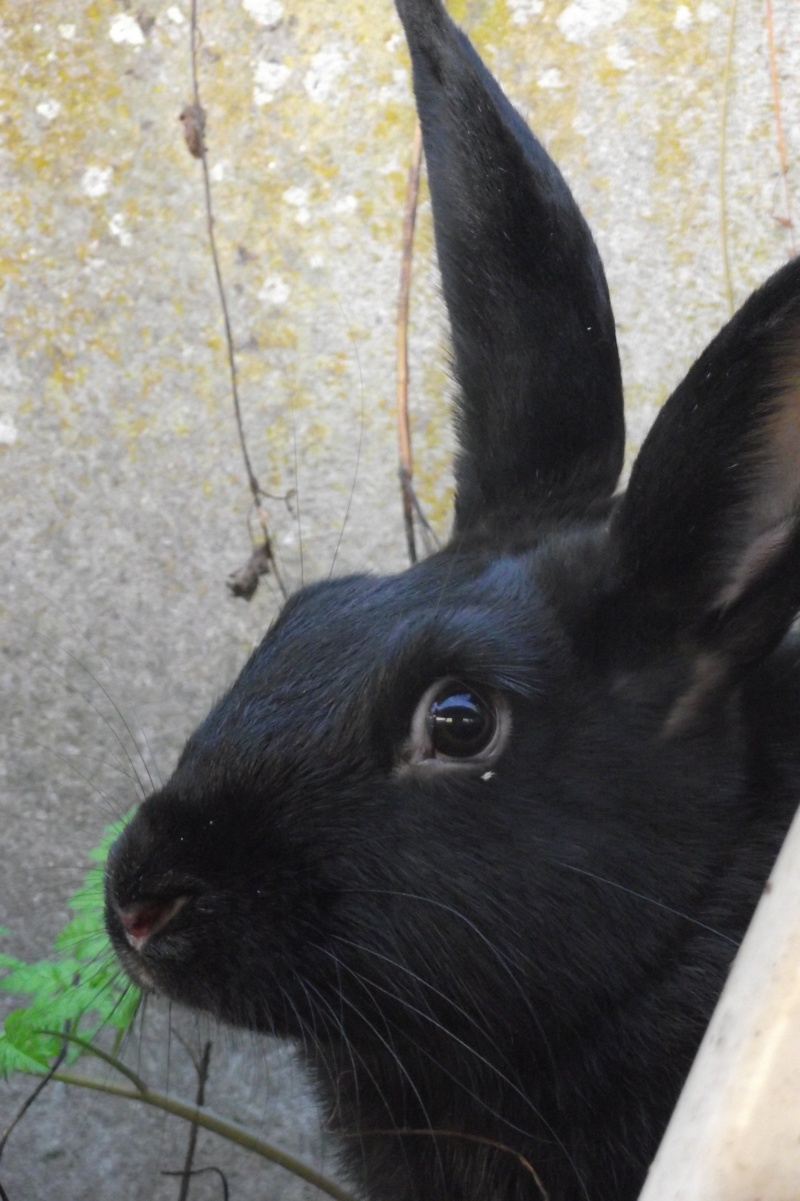 Edenne, belle lapine noire grand gabarit (association Poil de Carotte) 59 Dscf2612