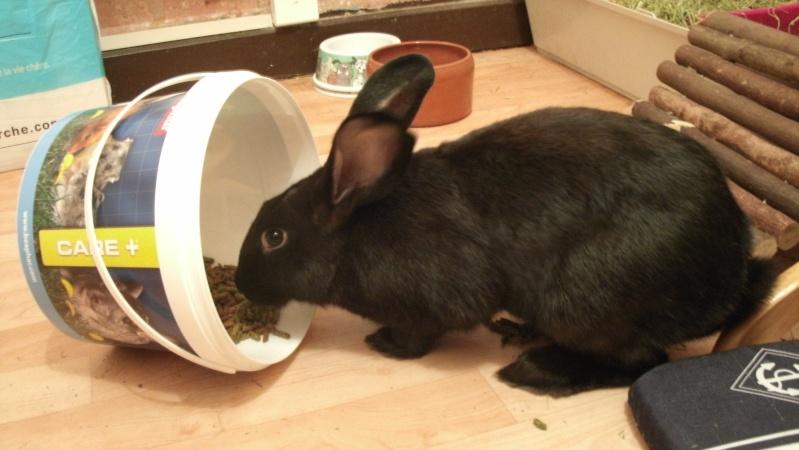 Edenne, belle lapine noire grand gabarit (association Poil de Carotte) 59 Gedc0013