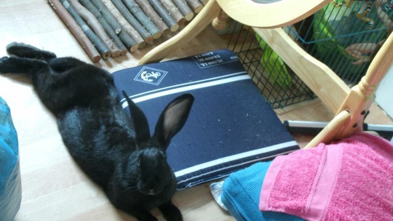 Edenne, belle lapine noire grand gabarit (association Poil de Carotte) 59 Gedc0014