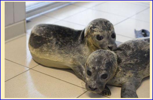 Invitation pour assister au relâché de 2 phoques à Calais (62) Ggg10