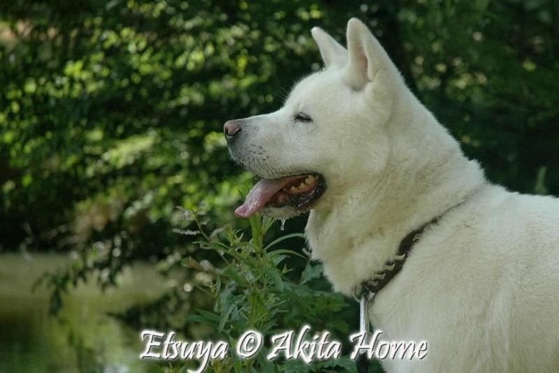 Etsuya, Akita inu 2 ans, ASSO Akita Home ADOPTE 1_07_210