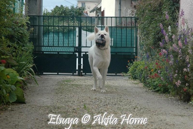 Etsuya, Akita inu 2 ans, ASSO Akita Home ADOPTE 1_07_212