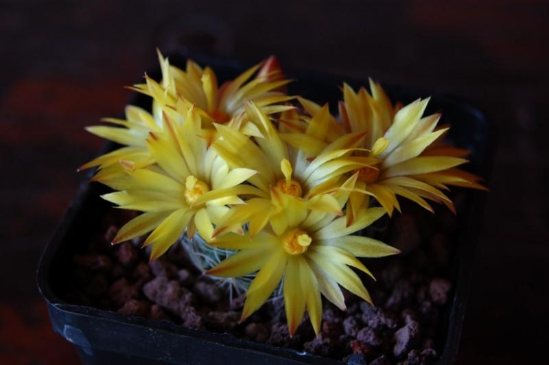 Mammillaria melaleuca Melale12