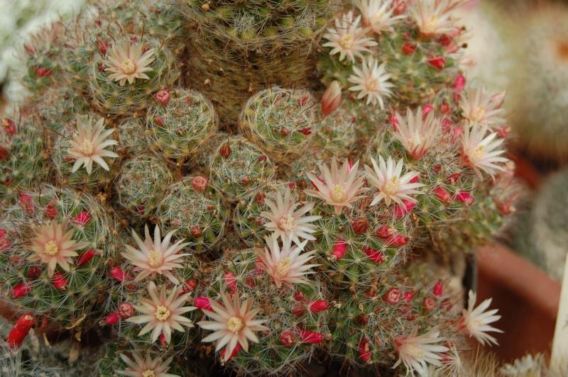 Mammillaria scheidweileriana Scheid11