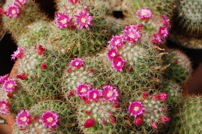 Mammillaria virginis Virgin10