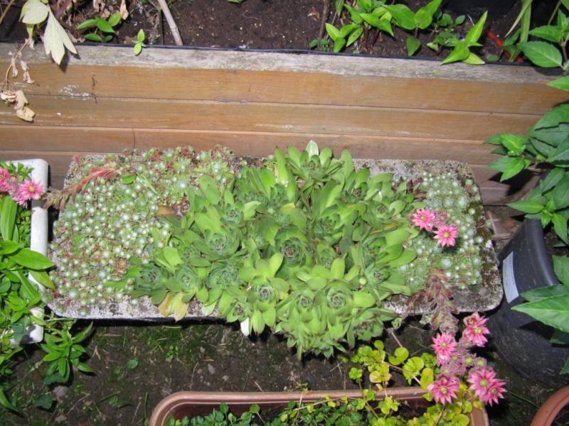 succulente au jardin (sempervivum) - Page 2 00510
