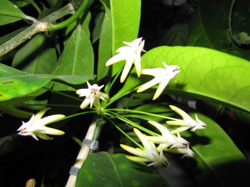 hoya multiflora en fleur - Page 3 00511