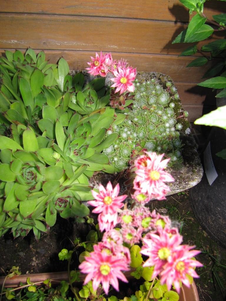 succulente au jardin (sempervivum) - Page 2 00610
