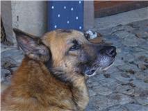 Scott, malinois x berger allemand volé/perdu à KRUTH (68) Scott116