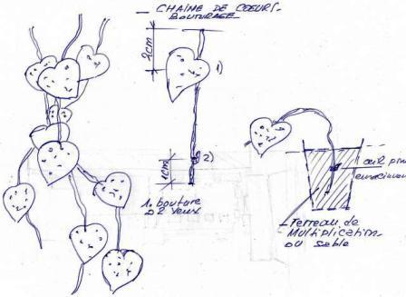 Ceropegia linearis Chaine10