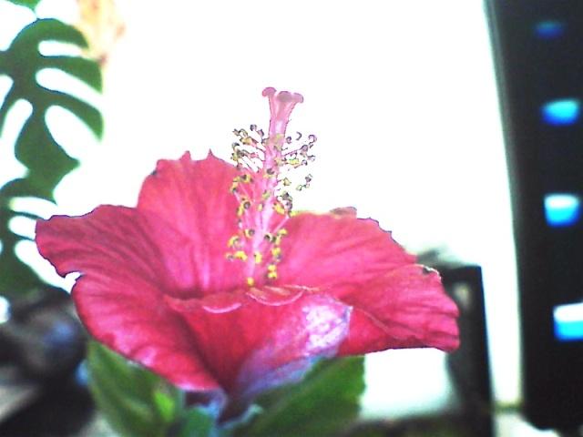 Floraisons de janvier Hib_1_10