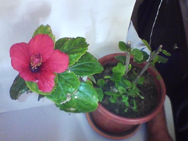 Floraisons de janvier Hib_2_10