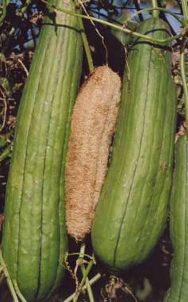 La Louffa (éponge végétale) Luffa10