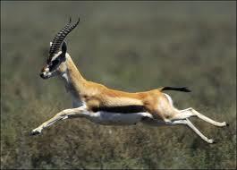 la gazelle  Caok1s10