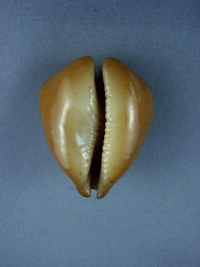 Cypraeidae - † Barycypraea caputviperae Martin, 1899 - Miocène (Ile de Java - Indonésie) Caputv13