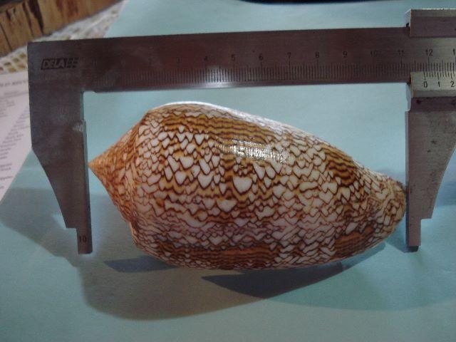 Conus (Cylinder) textile   Linnaeus, 1758 Coquil10