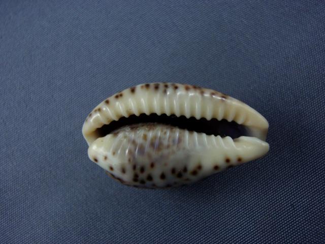 Palmadusta lentiginosa f. buhariensis - (Jonklaas, R.S.L. & K. Nicolay, 1977)  Cyprae17
