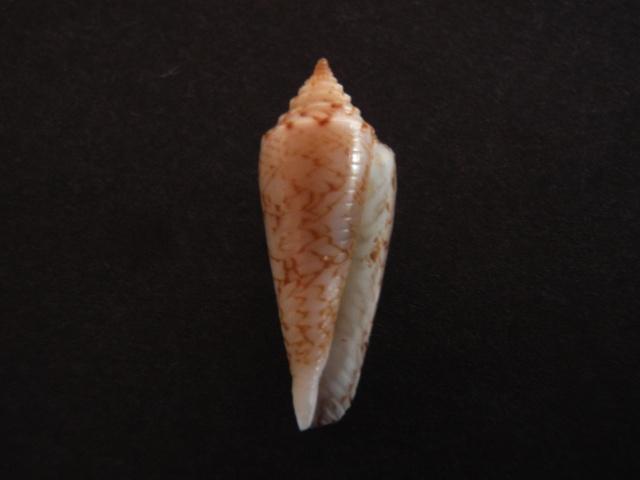 Conus (Phasmoconus) lienardi  Bernardi & Crosse, 1861 P1050011