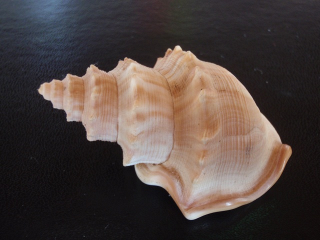 Struthiolariidae - Struthiolaria papulosa - (Martyn, 1784) P7210016