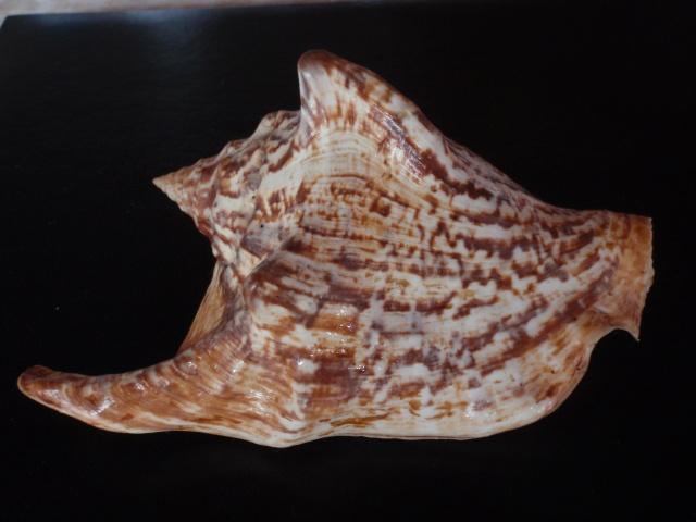 Strombidae Tricornis tricornis - ([Lightfoot], 1786) P7210018