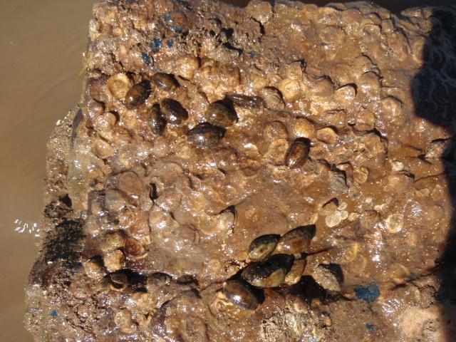 Erronea errones - (Linnaeus, 1758) - Live P7250013