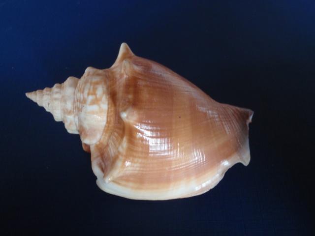 Strombus alatus - (Gmelin, 1791) P8030010