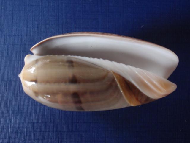 Viduoliva vidua f. cincta (Dautzenberg, 1927) P8070025