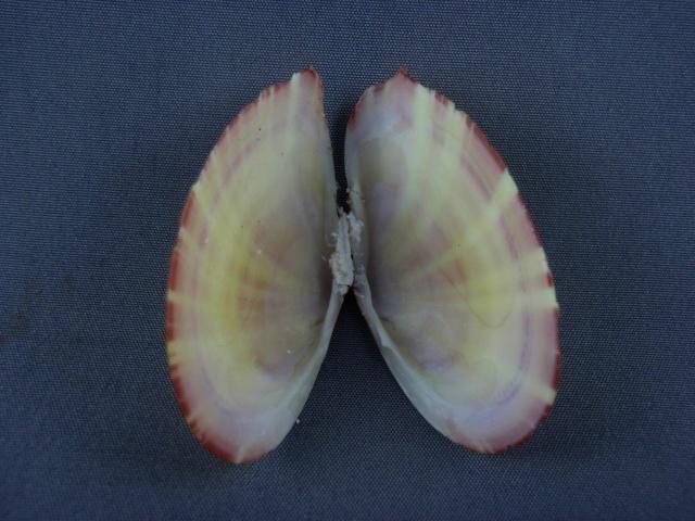 Tellinella virgata - (Linnaeus, 1758) Tellin11