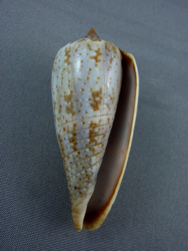 Conus (Phasmoconus) cinereus  Hwass in Bruguière, 1792 Turida12