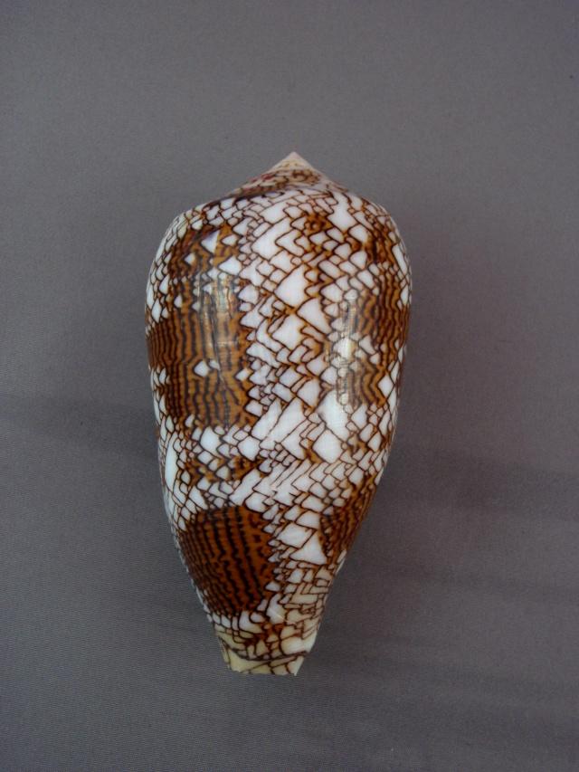 Conus (Cylinder) textile   Linnaeus, 1758 - Page 5 Xeno_013