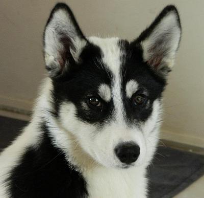 Gaya, Husky noire et blanche, s'est enfuie à Echiré ! [79] RETROUVEE Gaya10